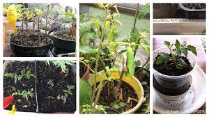 2015 2016 winter indoor tomatoes etc garden u2022 helpfulgardener com