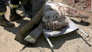 Georgia wild animals images Escaped zoo tiger kills man in tbilisi georgia cnn jpg