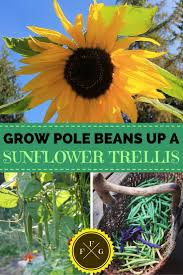 using sunflowers as a trellis sunflowers and gardens
