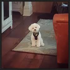 ozzie a bichon frise lovato u0027s dog buddy was killed by coyote report ny daily news