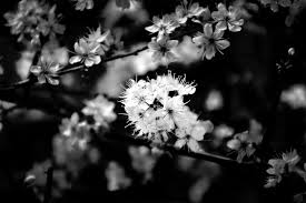 black and white flower picture free stock photo public domain