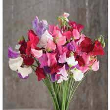 Sweet Pea Images Flower - mammoth choice mix sweet pea seed johnny u0027s selected seeds