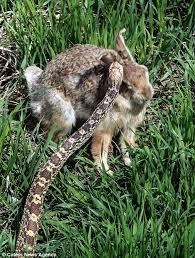 photographer mike reardon captures rabbit snake standoff