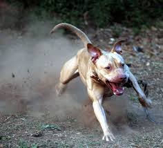 american pitbull terrier types lil u0027 bit an american pit bull terrier kicking some dust dog