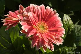 gerber daisy additional common names transvaal daisy african