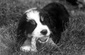 feeding bones or raw foods to puppies whole dog journal