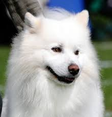 american eskimo dog black lovely american eskimo dog photo and wallpaper beautiful lovely
