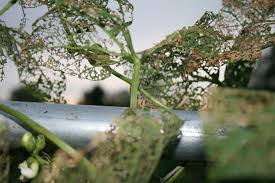 doyle thornless blackberries grow so easy organic
