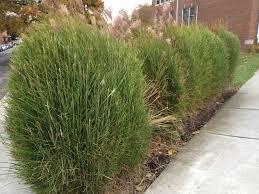 ornamental grass the garden professors