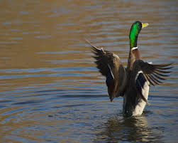 beautiful duck wallpapers and backgrounds best photos images download