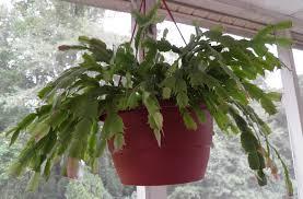 thanksgiving cactus schlumbergera