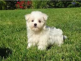 affenpinscher uk breeders affenpinscher breeders in texas animals pinterest dog breeds