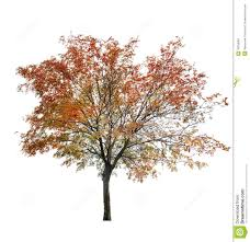 rowan tree at late autumn on white stock image image of object