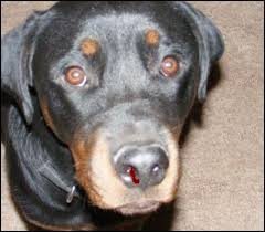 Causes Of Sudden Blindness In Dogs Causes Of Nose Bleeds In Dogs Pethelpful