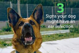 3 signs your dog might have an ear infection u2026 and what to do