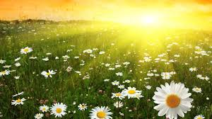 flower chamomiles field sunlight daisies fresh sun