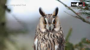 Owl Lovers by An Introduction To The Long Eared Owl Asio Otus By Wild Owl