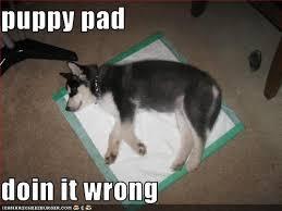 Husky Meme - i has a hotdog siberian husky funny dog pictures dog memes