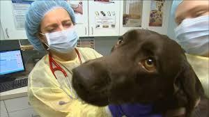 dangerous strain of dog flu spreads concern across u s cbs news