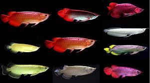 arowana fish fishandaqua