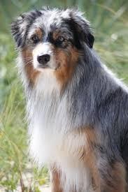 australian shepherd odor 100 amazing australian shepherds australian shepherd dog and
