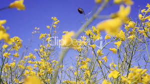 spring flower field and blue sky royalty free video and stock footage
