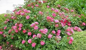 drift roses the highest quality best customer service fastest delivery
