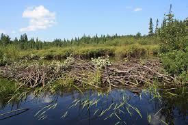 beaver dam wikipedia