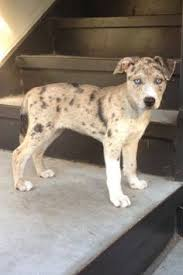 australian shepherd and husky mix collie husky mix can someone please get me this creatures