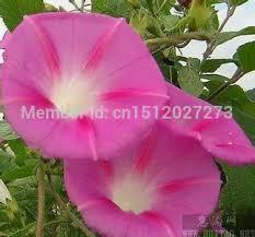 Morning Glory Climbing Plant - aliexpress com buy 30pcs morning glory flower seeds climbing