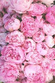 peonies flower i ll never get tired of pink peonies flower power