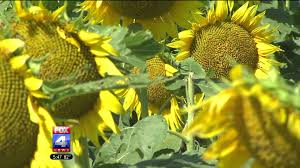 Blooming Sunflowers Decorate Kansas Countryside With Sunshine