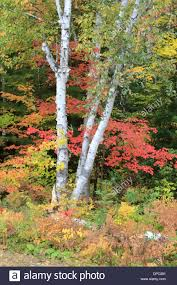 white birch tree and maple fall foliage in algonquin