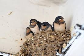 Barn Swallow Nest Pictures Young Barn Swallow In Nest Royalty Free Stock Images Image 36674139