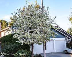 a flowering evergreen pear tree pyrus kawakami tells us spring