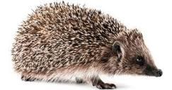 a-z-animals.com/media/2018/09/Hedgehog-isolated-60...