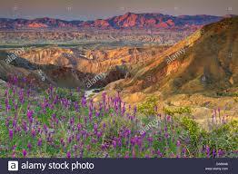anza borrego wildflowers usa united states america california borrego springs borrego