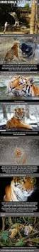 videos s nine highly badass badass facts about a tiger u2026 tigers badass and animal