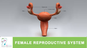 Anatomy Of Reproductive System Female The Female Reproductive System Of Human Youtube