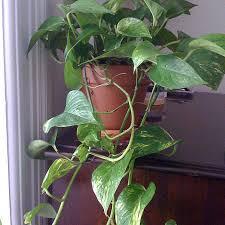 plante verte chambre à coucher plante verte pour chambre a coucher 9 plante grimpante