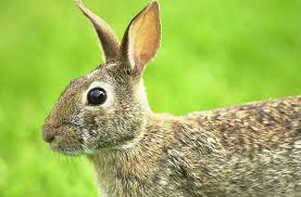 native plants ohio eastern cottontail rabbit