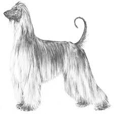 afghan hound and poodle afghan hound dog breed information american kennel club