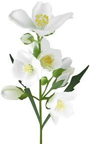 white flower white flower png clip image gallery yopriceville high