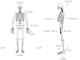Human Anatomy Words Human Anatomy Superior Anatomy Definitions Examples Anatomy And