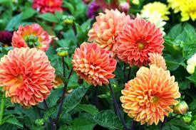dalia in vaso come coltivare le dalie in vaso per colorare il balcone donnad