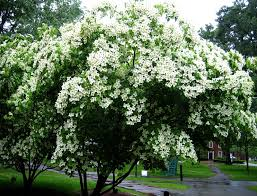 white flowering dogwood white princess flowering dogwood tree wholesale for sale online