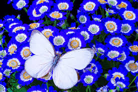 white and blue flowers white butterfly in blue flowers photograph by garry