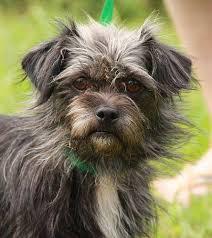 affenpinscher for adoption meet 250 dogs at super dog adoption day rhode island monthly