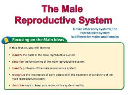 The Anatomy Of The Male Reproductive System Male Reproductive System Do Now Write Down As Many Parts Of The