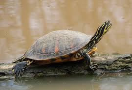 florida red bellied cooter